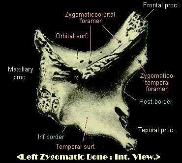 zygomatic bone, Human Body